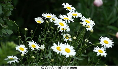 camomile flower bloom in garden - camomile flower bloom and...
