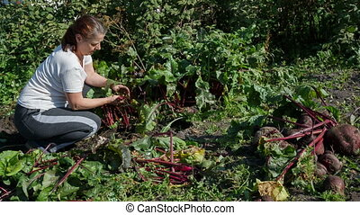 Woman gardener removes the beets in your garden