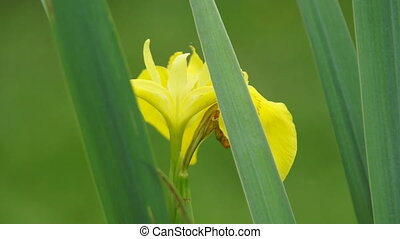 Yellow Iris bloom in grass close-up