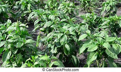 peppers growing in field or plantation - peppers growing in...