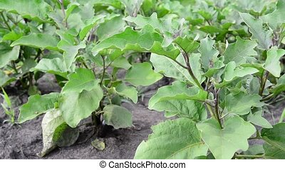 Leaves of Eggplant growing in the garden - An Eggplant...