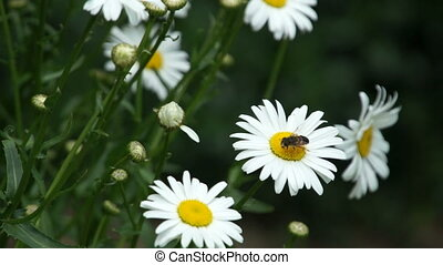 camomile flower bloom with insects fly above - camomile...