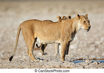 Lioness at waterhole - A lioness (Panthera leo) at a...