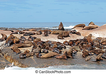 Brown fur seal colony - Brown (Cape) fur seal (Arctocephalus...