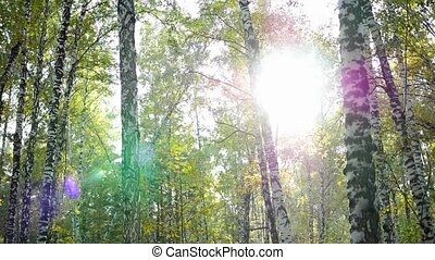birch forest in sunlight - beautiful birch forest in...