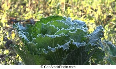 frozen cabbage vegetable plant covered with white ice...