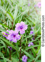 Purple flowers or Ruellia tuberosa Linn, Popping pod, Toi...