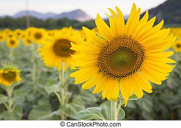Full bloom sunflower, natural landscape background
