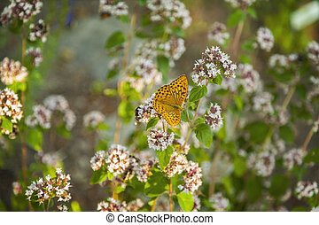 Silver-washed Fritillary butterfly - A silver-washed...