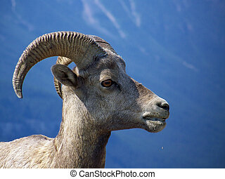 Big-horned, Sheep