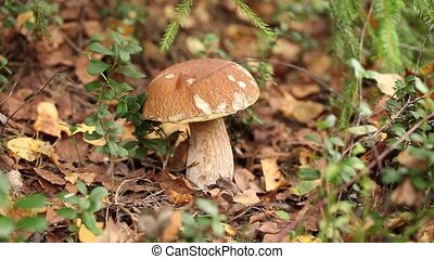Picking mushrooms in the forest - Picking white mushrooms in...