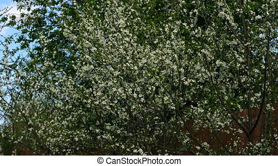 Cherry tree timelapse - A timelapse of a cherry tree in...