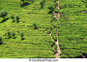 Tea plantation - Green tea plantation of Sri Lanka in the...