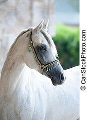 arabian stallion in traditional show halter