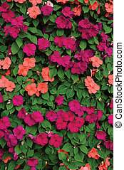 Impatiens Walleriana Sultanii Busy Lizzie Flowers, Large...