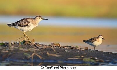 large and small sandpiper standing on one leg