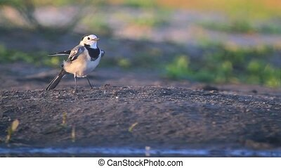 White Wagtail unusual moves wings,bird,wild life,migration