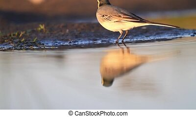 small bird drinks water and sees its reflection,bird,wild...
