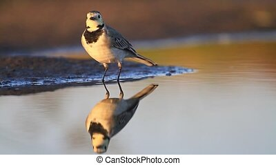 White Wagtail standing in the lake, reflections in...
