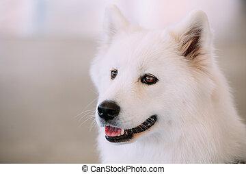 Happy White Samoyed Bjelkier Dog - Close Up of Happy White...