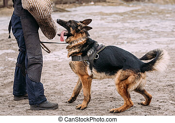 German Shepherd Dog training. Biting dog. - German shepherd...