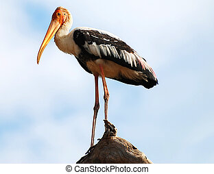 Painted Stork - Beautiful Painted Stork Mycteria...