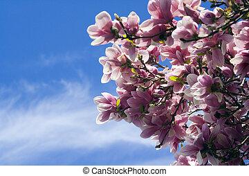 Blossoming Magnolia - springtime - Blossoming Magnolia -...