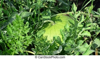 Green watermelon growing in garden - Green watermelon...
