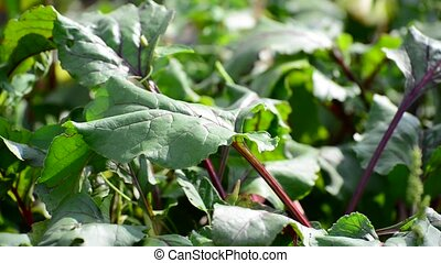 young leaves of beets in garden - young leaves of beets in...