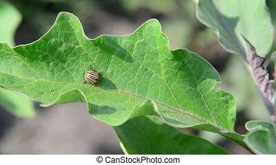 Colorado pest beetle on leaves of eggplant - Colorado beetle...