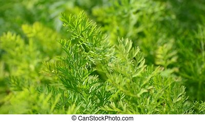 Leaves of young carrots in garden - Leaves of young carrots...