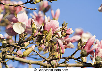 Blossoming Magnolia - spring in Chicago