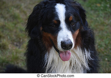 Sitting Bernese Mountain Dog