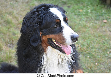 Happy Go Lucky Bernese Mountain Dog - Adorable face of a...