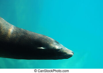 Fantastic Sea Lion Swimming Underwater