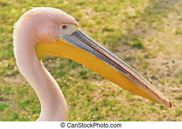 Portrait of Big Rosy Pelican