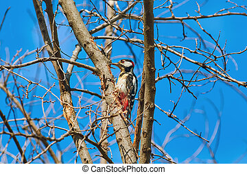 Woodpecker on the Tree - White-backed Woodpecker...