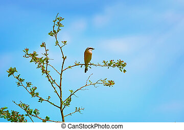 Red-backed Shrike Lanius Collurio Perched on the Branch