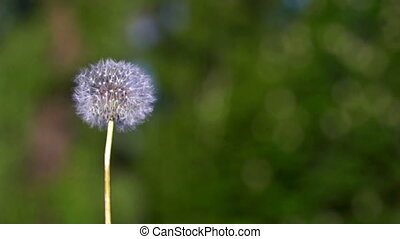 Dandelion seeds flying on the green background. Slow motion
