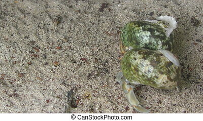 Two Hermit crabs crawling on the sand, Thailand, Similan...