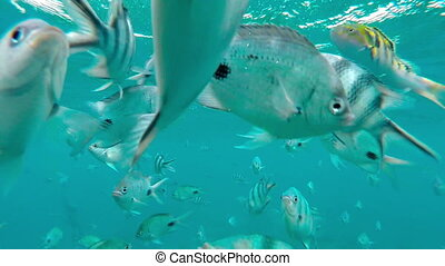 Shoal of tropical fish, Banded butterflyfish, with water...