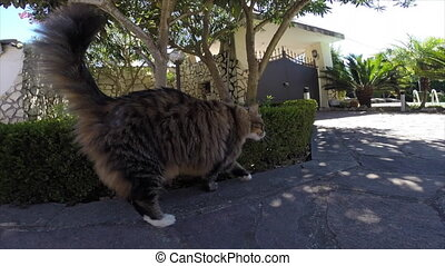 Curious Cat Smelling Camera - Longhair cat walking in the...