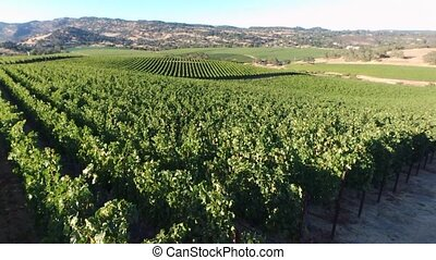flight on vineyard - Over fly aerial view on green vineyard...