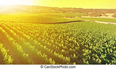 vineyard at sunset - Aerial view in the sun of rows of red...