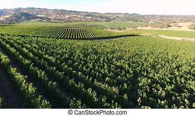 Aerial panorama vineyard - Aerial view of rows of red grapes...