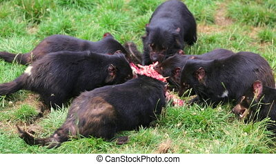 Tasmanian Devils eating - Tasmanian devils eating a prey in...