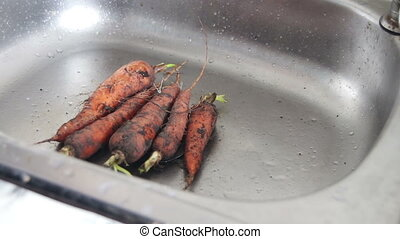 Wash the carrots in the sink. - Carrots from the garden with...