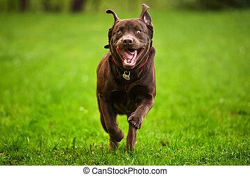 Happy Dog Run Labrador Retriever - Dog running through a...