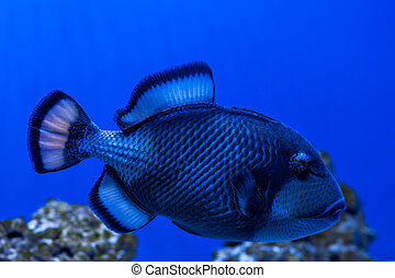 Fish Titan Triggerfish. - Fish Titan Triggerfish swimming...