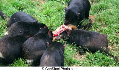 Tasmanian Devils hunting - Tasmanian devils hunting prey in...